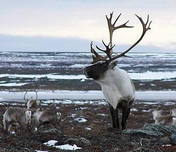 Alaska & Canada Discounted Caribou Hunting